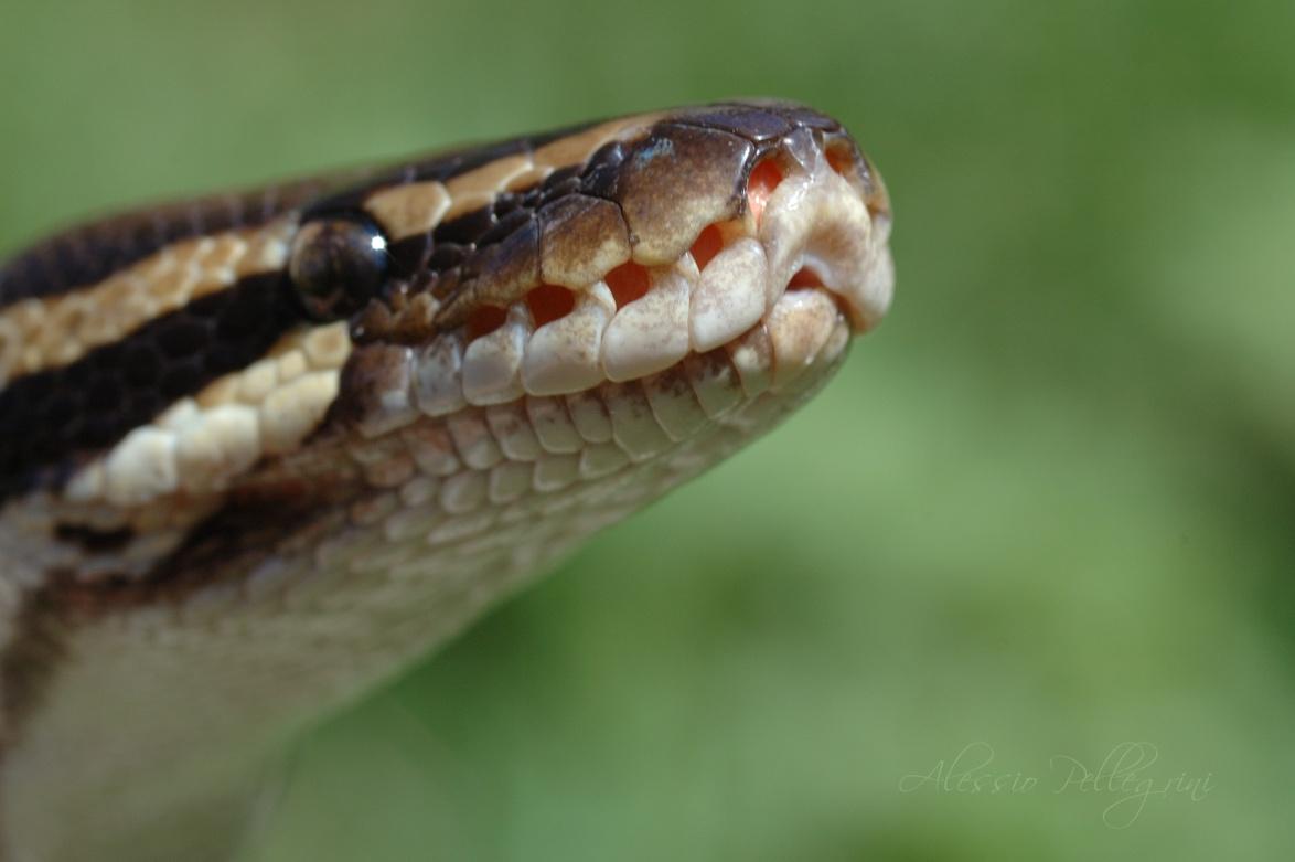 python regius labial pits macro