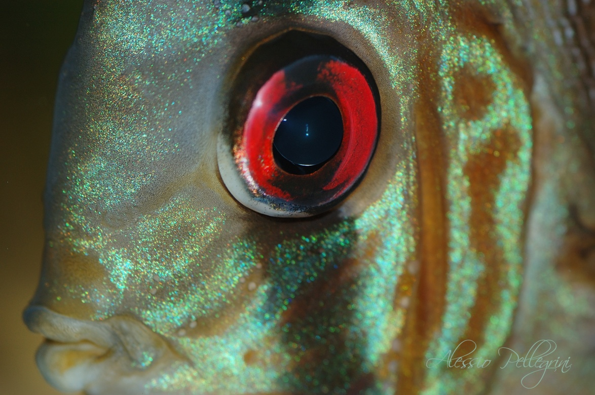 Discus close up