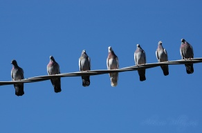 Group of pigeons on a phone cable
