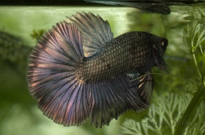 betta show copper gold hm 180deg