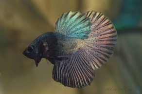 betta show half moon copper