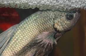 betta splendens building the bubble nest