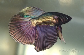 betta splendens half moon copper 4 rays