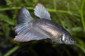betta splendens half moon copper rosetail female