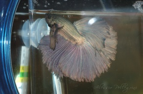 betta splendens hover half moon copper