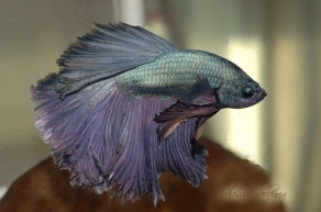 betta splendens over half moon rosetail copper