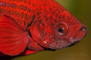 betta splendens red close up