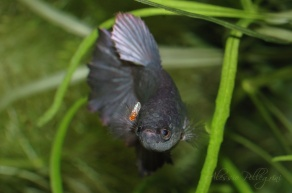 betta splendens trying to eat