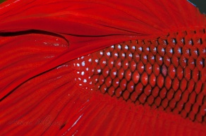 betta splendens red macro