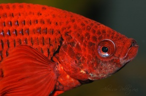 head of a betta splendens red