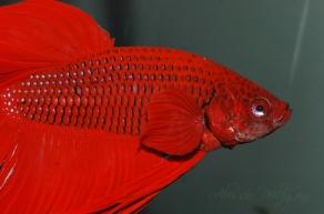 Betta splendens close up