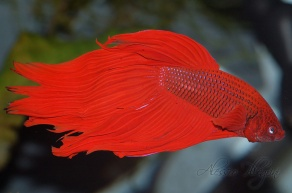 Red betta splendens veil tail