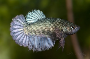betta splendens female half moon copper