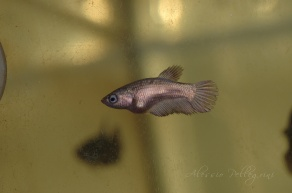 young betta splendens copper gold