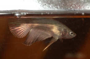 young betta splendens half moon copper