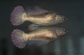 young betta splendens female half moon copper
