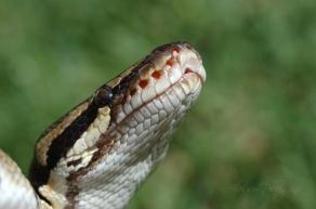 ball python labial pits macro