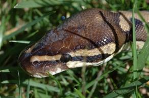 python regius ball python head