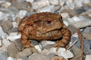 toad found in Tuscany