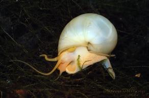 ampullariidae ampullaria