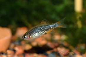 danio margaritatus female