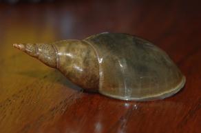 Lymnaea stagnalis old